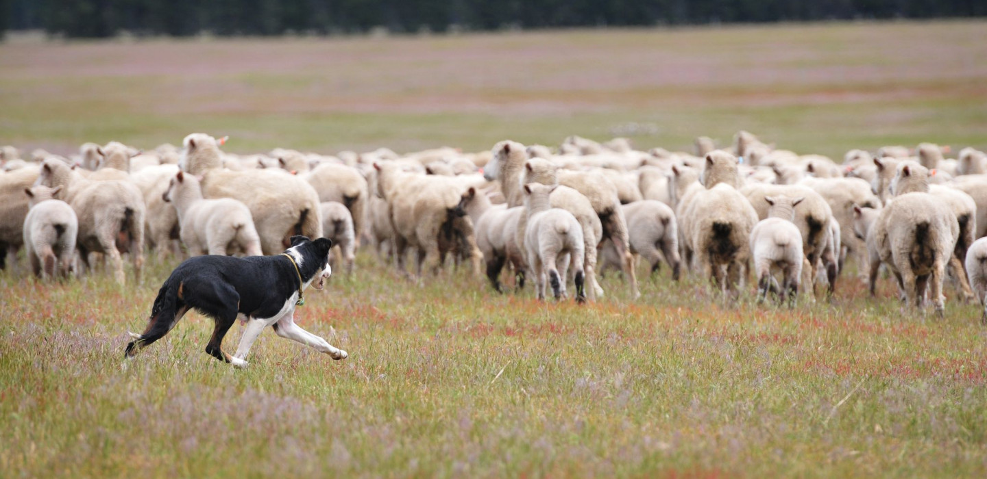 A sheepdog rounds-up sheep in a field