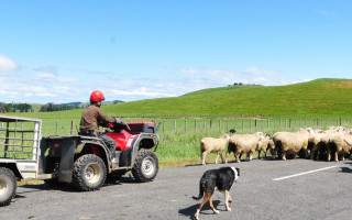 A man on a quad bike herds sheep with his dog