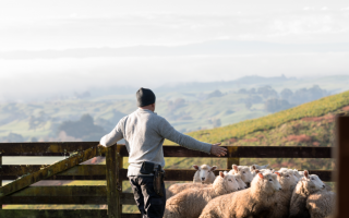 A man closes a gate behind a flock of sheep
